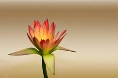 背景的美好的莲花样式弄脏了颜色渐进性 免版税图库摄影