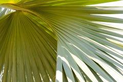 背景的鲜绿色的棕榈树叶子纹理用途 免版税库存照片