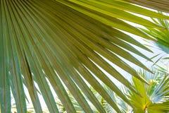 背景的鲜绿色的棕榈树叶子纹理用途 库存图片