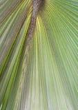 背景的鲜绿色的棕榈树叶子纹理用途 库存照片