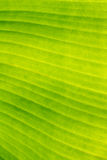 背景的,纹理,墙纸香蕉叶子 免版税库存照片