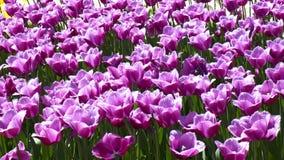 背景的紫罗兰色郁金香 免版税库存图片