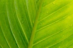 背景的绿色叶子纹理 免版税图库摄影