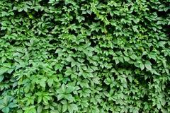 背景的绿色叶子 免版税库存照片