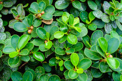背景的绿色叶子 免版税库存图片