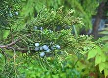 背景的绿色灌木 免版税库存照片