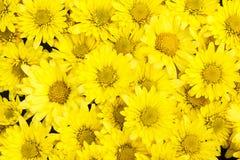 背景的黄色翠菊花 库存图片