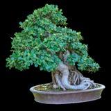 背景盆景陶瓷查出的罐小的结构树白色 库存图片