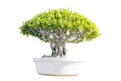 背景盆景陶瓷查出的罐小的结构树白色 库存照片