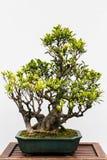 背景盆景结构树白色 库存照片