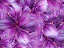 背景看板卡开花问候百合页模板普遍性万维网 明亮的桃红色背景 花卉拼贴画 背景构成旋花植物空白花的郁金香 图库摄影