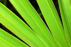 背景矮棕榈条看见了 图库摄影