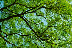 背景离开印度楝树 免版税库存图片
