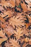 背景离开橡树 关闭下落的橡木叶子看法  设计的秋叶纹理和背景 免版税库存图片