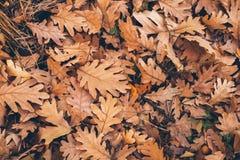 背景离开橡树 关闭下落的橡木叶子看法  设计的秋叶纹理和背景 库存照片