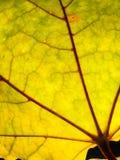 背景秋天槭树叶子 库存图片