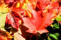 背景秋天槭树叶子 免版税图库摄影