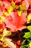 背景秋天槭树叶子 免版税库存图片