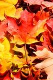 背景秋天槭树叶子 免版税库存照片