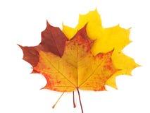 背景秋天留下槭树白色 免版税库存图片