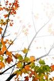 背景秋天留下槭树 免版税库存图片