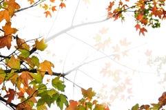 背景秋天留下槭树 免版税库存照片