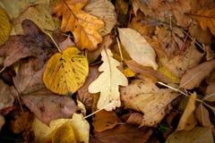 背景秋天留下橡木 免版税库存图片
