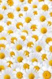 背景空白春黄菊的瓣 免版税库存照片