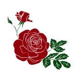 背景空白查出的红色的玫瑰 图库摄影