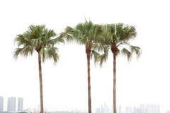 背景空白的棕榈树 免版税库存照片