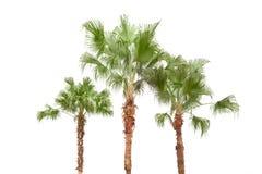 背景空白的棕榈树 免版税图库摄影