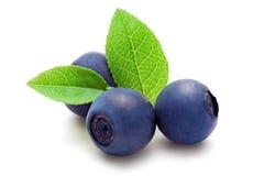 背景空白蓝莓的叶子 免版税图库摄影
