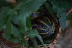 背景篮子用少量南瓜,橡木离开,莓果 秋天栗子装饰葡萄10月石榴木头 有机收获和假日标志 库存图片