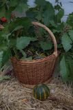 背景篮子用少量南瓜,橡木离开,莓果 秋天栗子装饰葡萄10月石榴木头 有机收获和假日标志 图库摄影