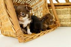 背景篮子的小奇瓦瓦狗小狗 免版税图库摄影