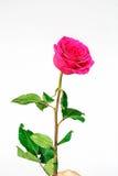 背景粉红色玫瑰白色 图库摄影