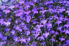 背景紫罗兰 库存图片
