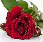 背景红色玫瑰白色 图库摄影