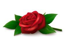 背景红色玫瑰白色 库存照片