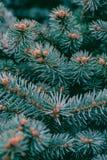 背景纹理与年轻锥体的杉木分支 库存照片