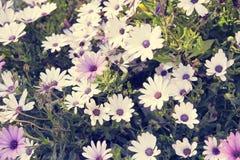 背景细部图花卉向量 在白色海角延命菊的阳光 Dimorphothe 库存照片