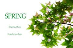 背景绿色叶子槭树白色 免版税库存照片