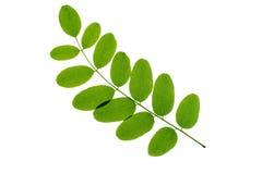 背景绿色叶子白色 图库摄影