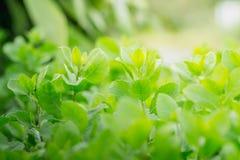 背景绿色叶子 使用想法设计纹理自然样式的概念或墙纸 库存图片