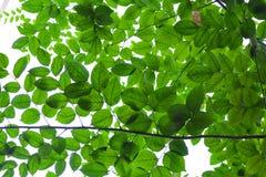 背景绿色叶茂盛 免版税库存照片