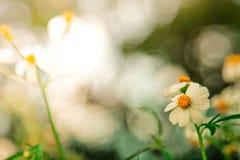 背景绿色本质 雏菊花和草在软的颜色样式 免版税库存图片
