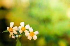 背景绿色本质 雏菊花和草在软的颜色样式 免版税库存照片