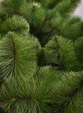 背景绿色杉木 免版税库存照片