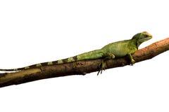背景绿色鬣鳞蜥白色 库存照片