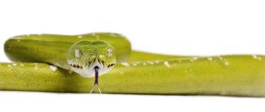 背景绿色Python结构树白色 图库摄影